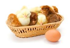 Un bon nombre de poulets nouveau-nés dans le panier en osier Photographie stock