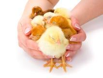 Un bon nombre de poulets nouveau-nés protégé par les mains humaines Photo stock