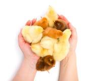 Un bon nombre de poulets nouveau-nés protégé par les mains humaines Photographie stock libre de droits
