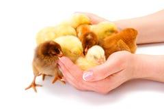 Un bon nombre de poulets nouveau-nés protégé par les mains humaines Photos stock