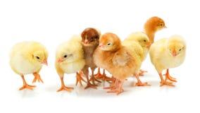 Un bon nombre de poulets nouveau-nés se tenant ensemble Image libre de droits