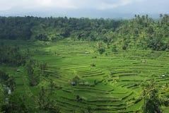 Un bon nombre de ricefields de terrasse et de palmiers photo libre de droits