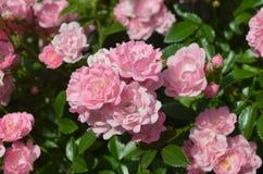Un bon nombre de roses roses de floraison dans Rose Garden Photographie stock libre de droits