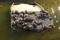 Un bon nombre de tortues Image stock