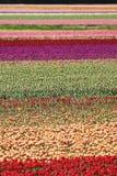 Un bon nombre de tulipes Images libres de droits