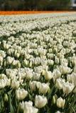 Un bon nombre de tulipes Image libre de droits