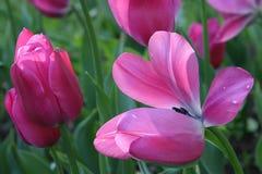 Un bon nombre de tulipes roses Photos stock
