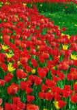 Un bon nombre de tulipes rouges fraîches sur l'herbe image libre de droits