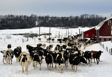Un bon nombre de vaches Photographie stock
