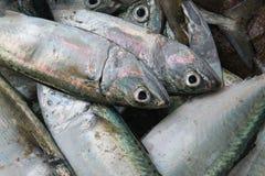 Un bon poisson gris marin avec des réflexions rosâtres sur les échelles, mensonge dans une pile, fruits de mer frais sur le march Photographie stock