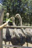 Un bon tir d'une autruche alimentant à une ferme Image libre de droits