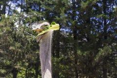 Un bon tir d'une autruche alimentant à une ferme Images libres de droits