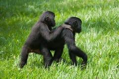 Un bonobo di due bambini che gioca a vicenda Il Republic Of The Congo Democratic Parco nazionale del BONOBO di Lola Ya Fotografia Stock Libera da Diritti