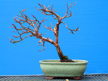 Un bonsai simple de Fruticosa del Potentilla del shohin en el entrenamiento temprano de un entusiasta de Irlanda del Norte Fotos de archivo