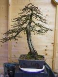 Un bonsai vertical informal de Kaempheri del Larix del estilo después del trabajo de mantenimiento temprano de la primavera Imagen de archivo libre de regalías