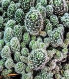 Un boschetto del cactus fotografia stock