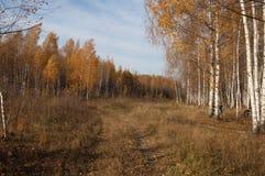 Un boschetto della betulla nei raggi del sole di autunno fotografie stock