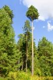 Un bosque de los árboles de pino Fotos de archivo libres de regalías