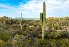 Un bosque del cactus del Saguaro en parque nacional de Saguaro foto de archivo