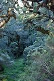 Un bosque del cuento de hadas con los árboles demasiado grandes para su edad con el musgo y el liquen en el paseo de Humpridge en fotos de archivo libres de regalías