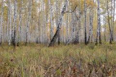 un bosque del otoño de los árboles de abedul grandes Imagenes de archivo