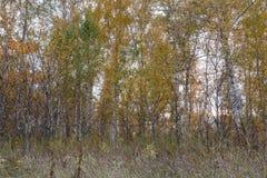 Un bosque del otoño de los árboles de abedul jovenes Imagen de archivo libre de regalías