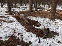 Un bosque denso del pino en la primavera Fotos de archivo libres de regalías