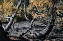 Un bosque después del fuego, el pino quemado es todo se deja que fotos de archivo