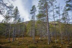 Un bosque hermoso en una ladera Paisaje de madera del otoño en las montañas noruegas Fotografía de archivo libre de regalías
