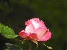 Un bottone rosa rosa Immagini Stock