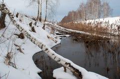 Un bouleau tombé, castors construisent un barrage dans un fossé d'irrigation, Image libre de droits