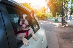 Un bouledogue français regarde en dehors de la voiture Photographie stock