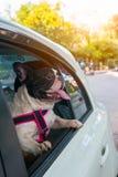 Un bouledogue français regarde en dehors de la voiture Images libres de droits