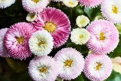 Un bouquet de belles fleurs de marguerite Photo stock