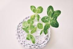 Un bouquet de l trèfles à quatre feuilles de champ dans un petit vase sur un ligh Photos libres de droits