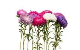 Un bouquet des asters photo libre de droits