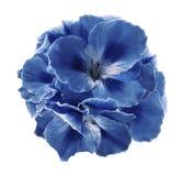 Un bouquet des bégonias blanc bleu sur un blanc a isolé le fond avec le chemin de coupure Plan rapproché sans ombres Photos stock