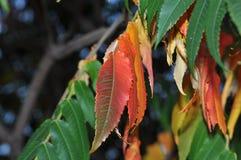 Un bouquet des feuilles d'érable images stock