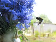 Un bouquet des fleurs de pré de champ des bleuets attire des insectes photographie stock