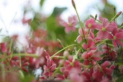 Un bouquet renversant des ch?vrefeuilles chinois images stock