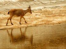 Un bouquetin reflété dans l'eau dans le désert - une oasis photos libres de droits