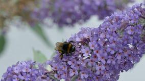 Un bourdon ou gaffer l'abeille, ou la humble-abeille, genre Bombus clips vidéos