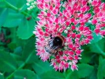 Un bourdon pelucheux sur une fleur, un insecte rassemble le pollen de petites fleurs rouges un jour ensoleill? d'?t? images stock