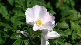 Un bourdon vole ? partir du bourgeon rose sauvage blanc sur le fond du parc ou du jardin Vid?o de longueur de HD banque de vidéos