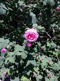 Un bourgeon d'un thé rose de floraison s'est levé photographie stock libre de droits