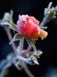 Un bourgeon rose givré Photo libre de droits