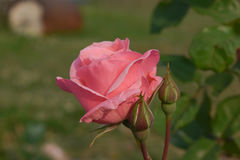 Un bourgeon rose rose Image stock