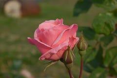 Un bourgeon rose rose Image stock