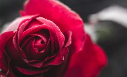 Un bourgeon rouge de rose Photo stock