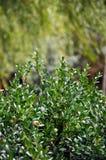 Un boxwood sempreverde del Bush Fotografia Stock Libera da Diritti